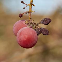 Ягоди винограду