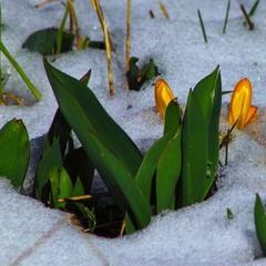 Квіти на снігу.