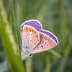 Вечірній метелик