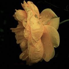 Роза чайная..