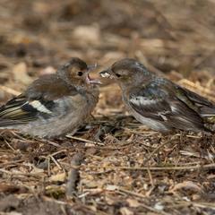 Самка зяблика кормит птенца