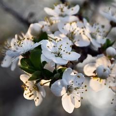 А в саду расцветают вишни...