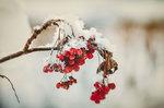Гроздья рябины под снегом