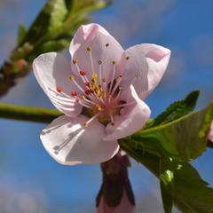 И персик цвёл, светясь на солнце