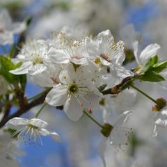 Цвет алычи