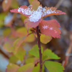 Три снежинки под листом