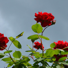 Перед грозой так пахнут розы