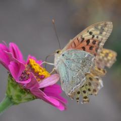 Крылья лёгкие порхают над цветком