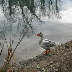 Гусак на березі річки Сіле