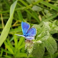 Метелик з духм'яною річковою м'ятою