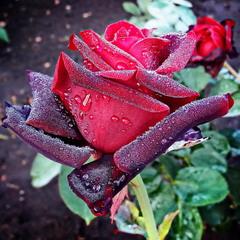 Осіння троянда