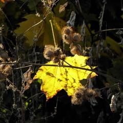 Осінній лист кленовий