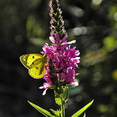Жовтий метелик
