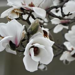 """""""Люблю, коли магнолія цвіте. Вона несе в собі магічну силу.."""""""