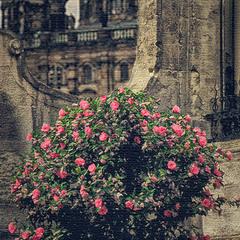 Цвітуть троянди в літній час - 4