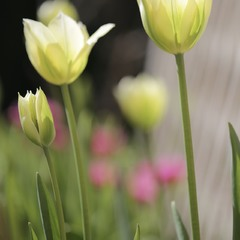 Любимые тюльпаны