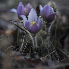 Сон-трава квітне