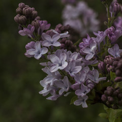 Цвіте