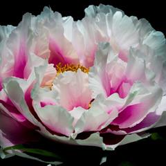 Квітнуть