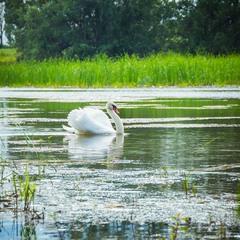 Белоснежный лебедь