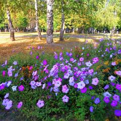 Осенние петуньи - украшение октября.