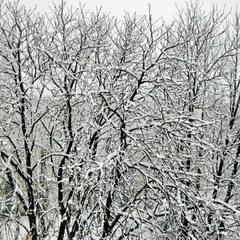 Лёгким пухом первый снег ветви облепил.