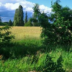 Шумит колосьями пшеница.