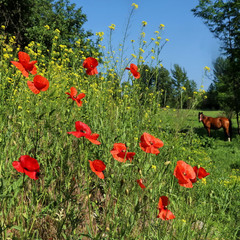 Лето, маки, цветение.