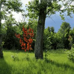 Клён с красными листьями.