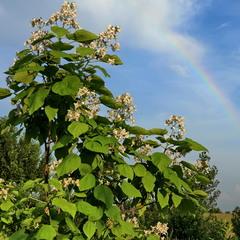Цветение под радугой.