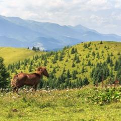 Карпатські коні на фоні Чорногірського хребта