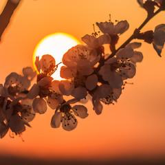 Квітучий світанок.