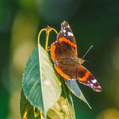 Метелик))