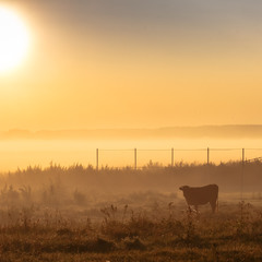 Ранкова фотосесія. Село і ... корова ))