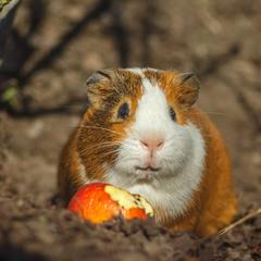 Свині бувають і морські, тоді вже це - свинки))