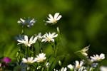 Квіти весняні