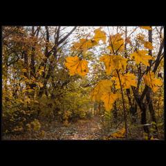 В хороводе желтых листьев..