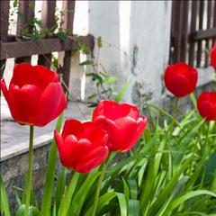 Этюд с тюльпанами