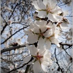 Абрикоса в цвету!