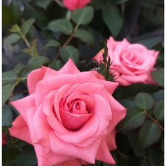Розы любимым женщинам!