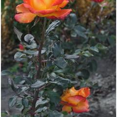 Осенние розы!