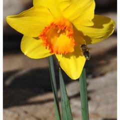 Нарцисс и пчела!