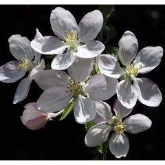 Весны цветенье...