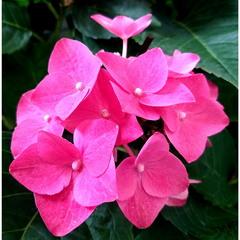 Розовые крылышки!