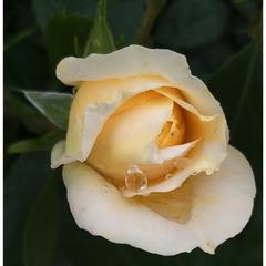 Роза со слезой!