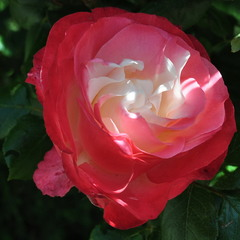 Светлая душа царицы цветов!