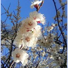 Цветёт абрикоса