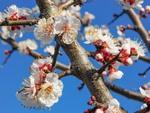 Абрикосовий цвіт...