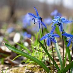 Пролісковий цвіт...