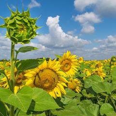 Квіти сонця...